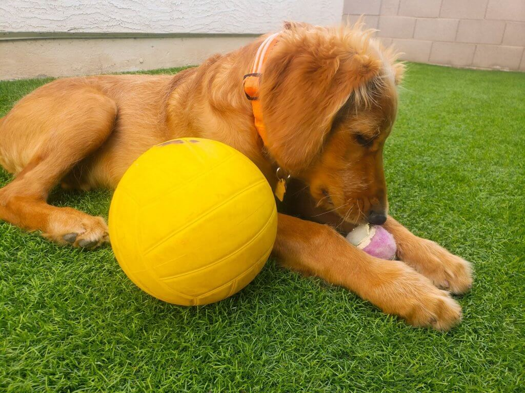 dog play paradise on artificial grass